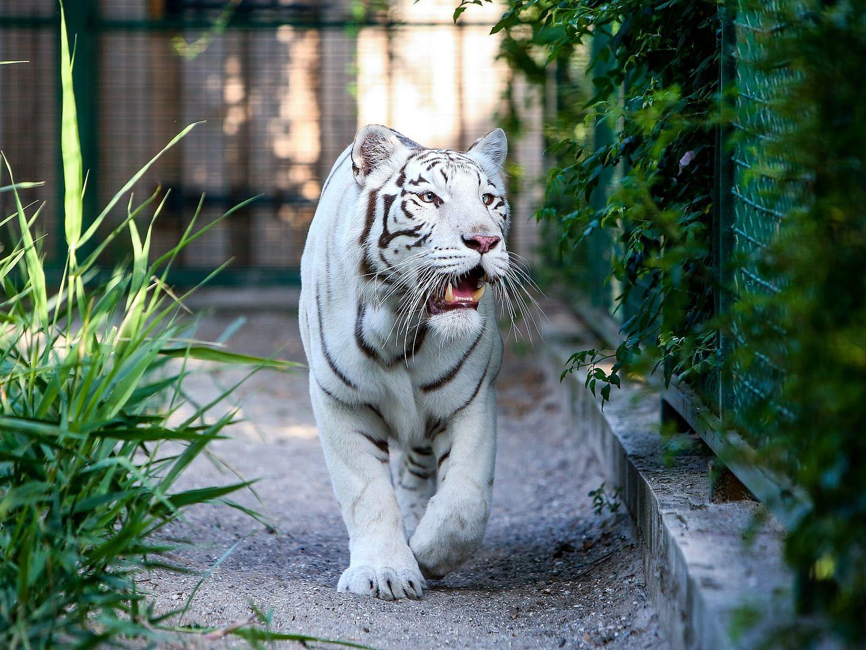 White bengal tiger blue eyes