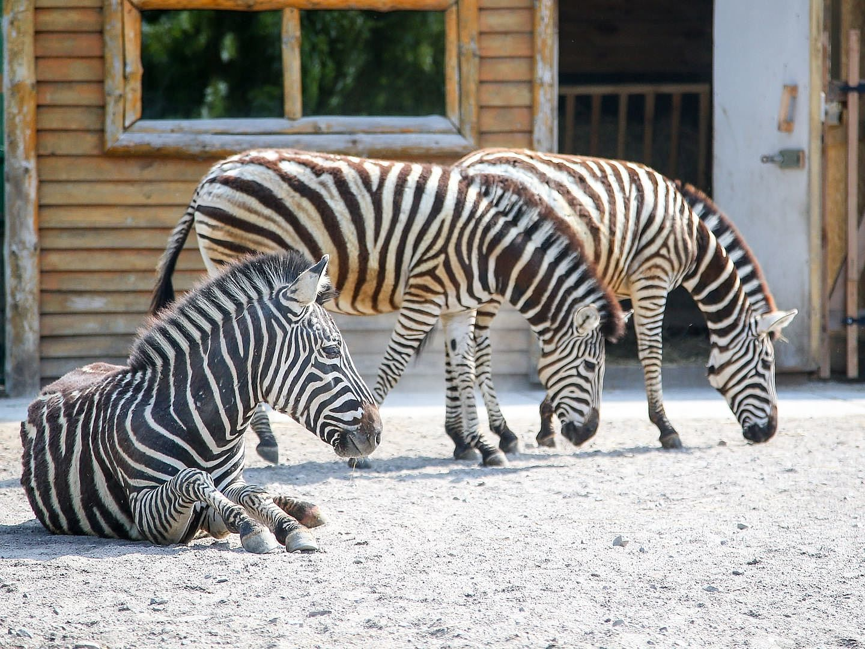 Chapmans zebra